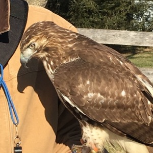 Freya the hawk